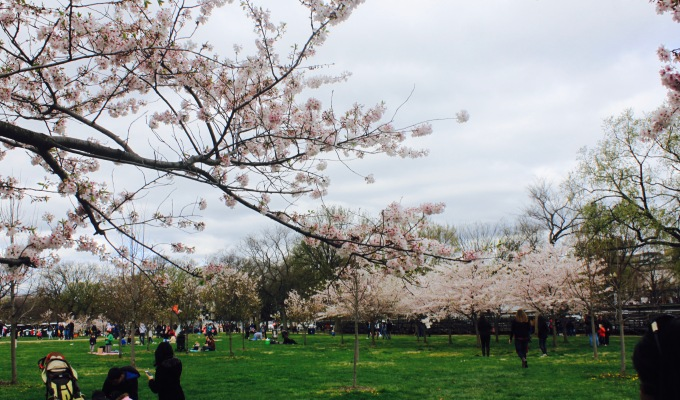 CHERRY BLOSSOM FESTIVAL – WASHINGTON D.C.